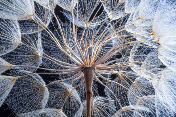 Dandelion Close-up dandelion seeds on black background. alteration stock pictures, royalty-free photos & images