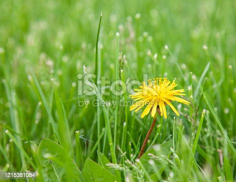 Close up of a dandelion in a mowed lawn, weed