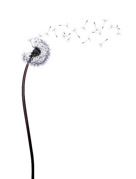dandelion - blowing stock photos and pictures