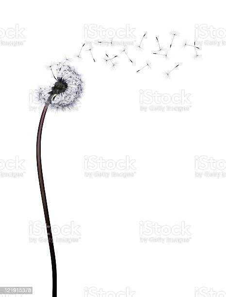Studio shot of a Dandelion with seeds flying in the wind, isolated on white. CHECK OUT VIDEO VERSION BELOW! Shot with 39 Mpixel digital back.