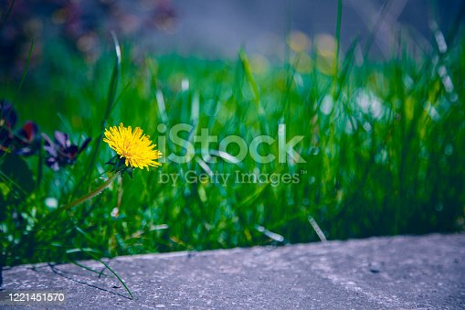 Mix of nature and urban landscape. Yellow dandelion in front of the green grass and above the concrete jardiniere. Shallow depth of field.
