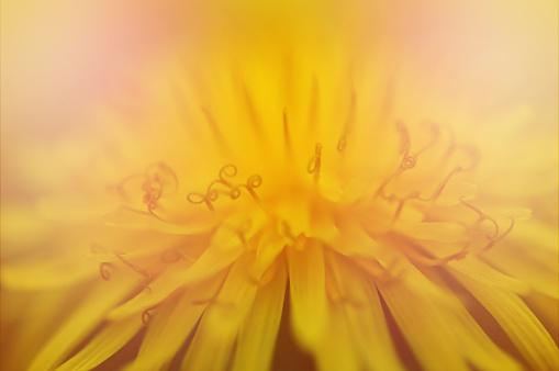 Close up of yellow dandelion flower
