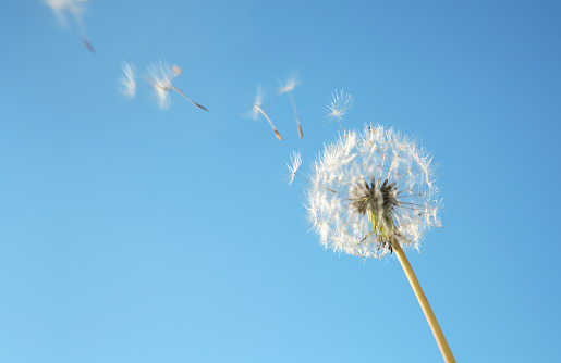 Dandelion Loosing Seeds in the Wind.