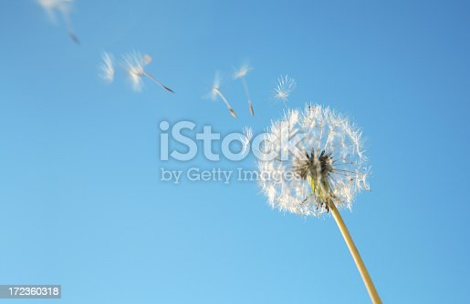 Dandelion Loosing Seeds in the Wind.