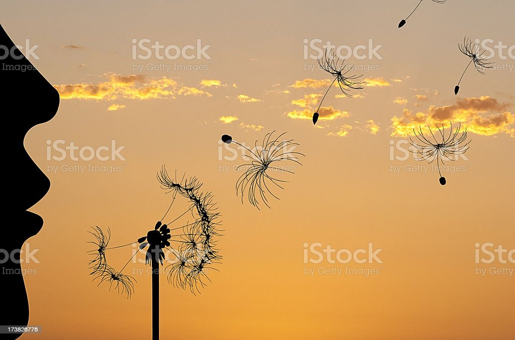 Dandelion stock photo