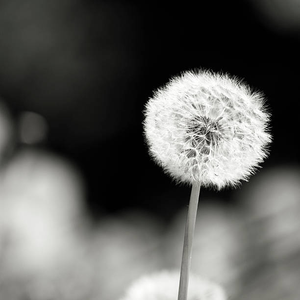 dandelion - lepro stock pictures, royalty-free photos & images