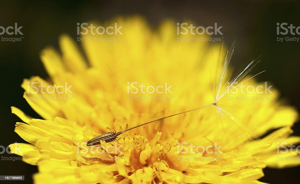Dandelion stock photo