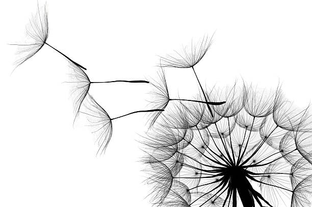 dandelion - monochrome stock photos and pictures