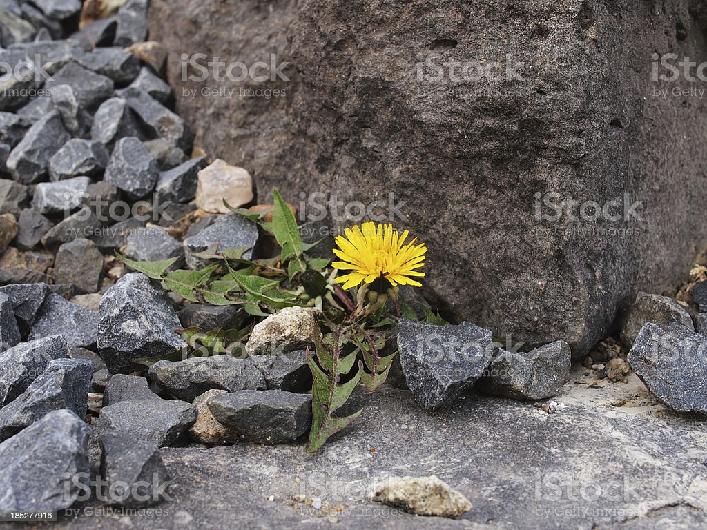 dandelion (Taraxacum sect. Ruderalia) royalty-free stock photo