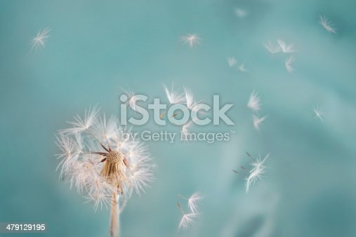 Dandelion blows apart in the wind
