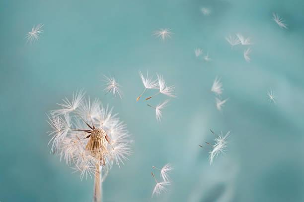 mniszek - pyłek zdjęcia i obrazy z banku zdjęć