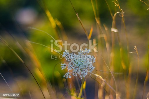 istock dandelion 482466872