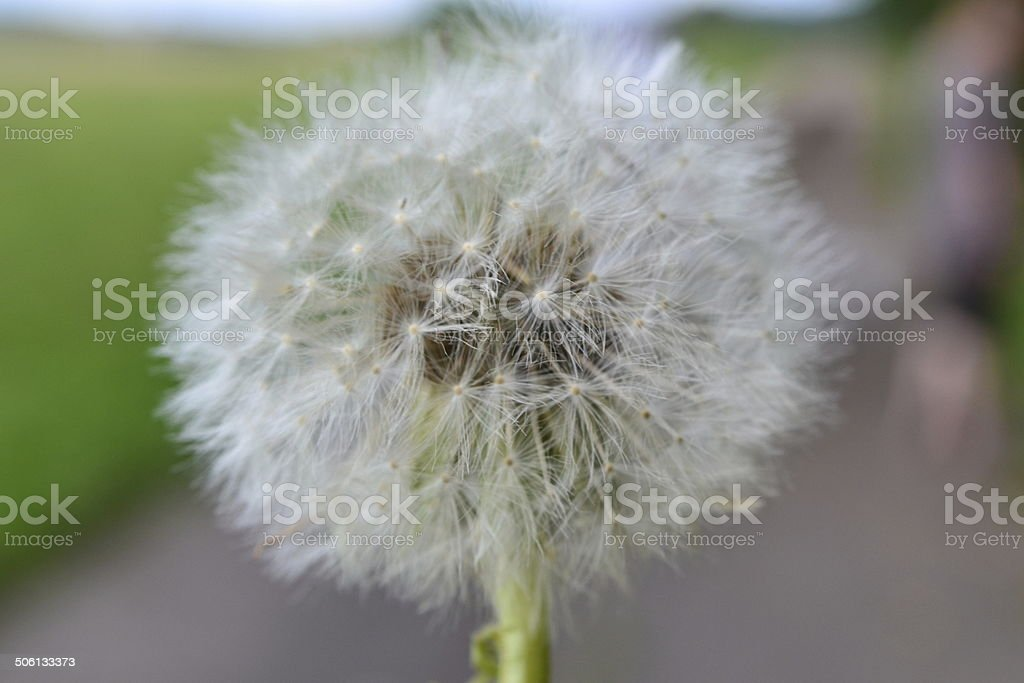 Pusteblume stock photo