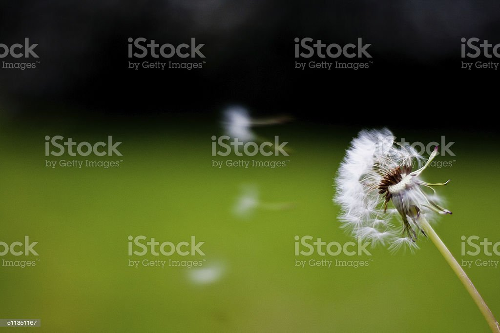 Dandelion - Royalty-free Black Color Stock Photo