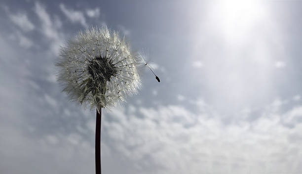 dandelion - grief stock photos and pictures