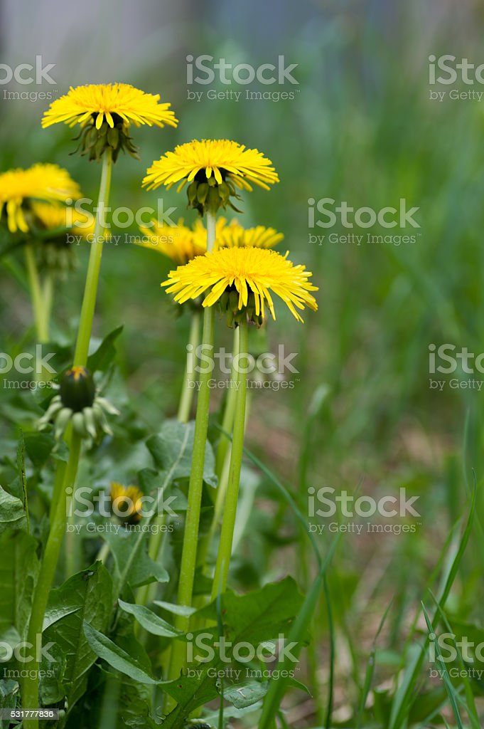 Dandelion bildbanksfoto