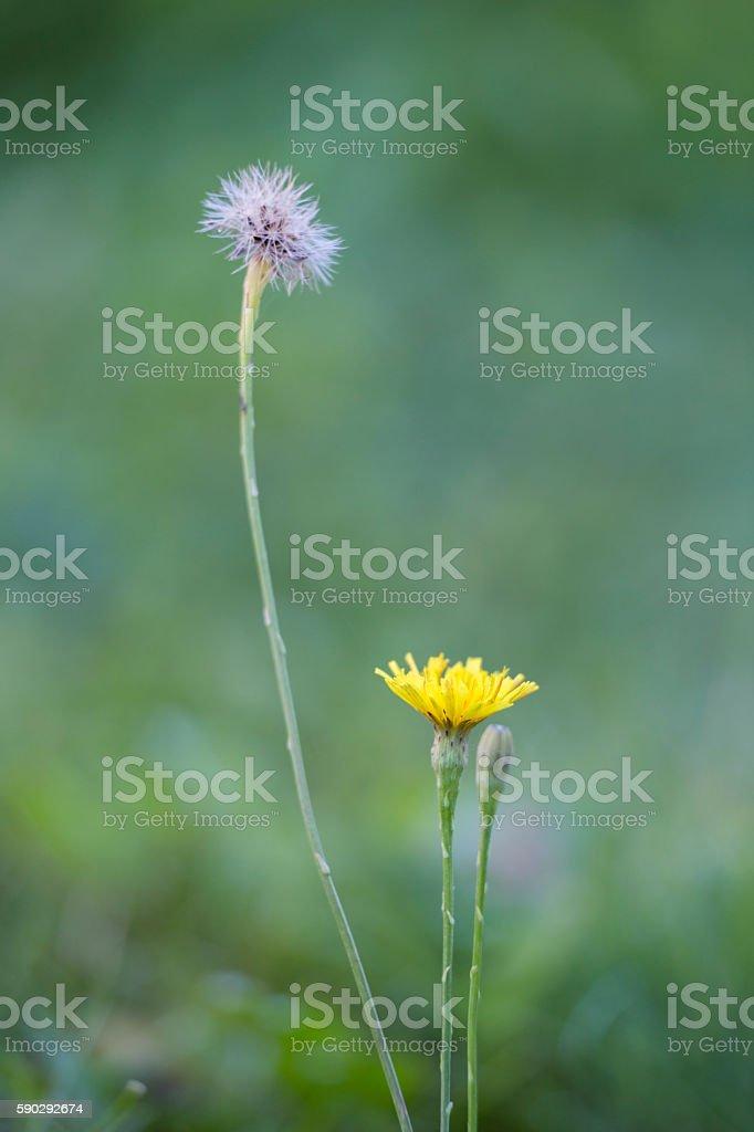 Dandelion royaltyfri bildbanksbilder