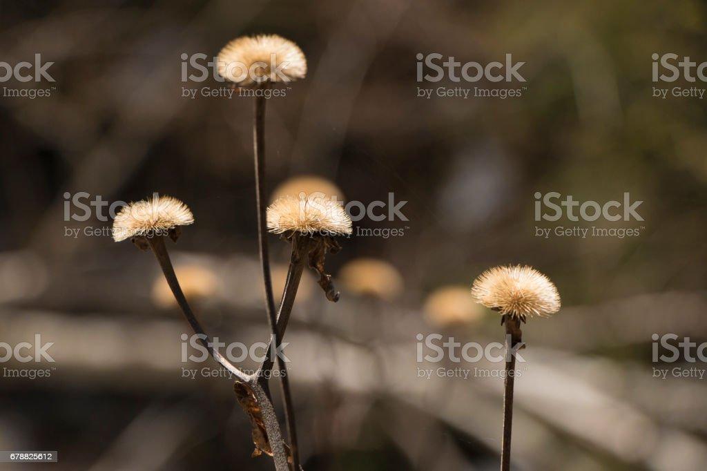dandelion photo libre de droits