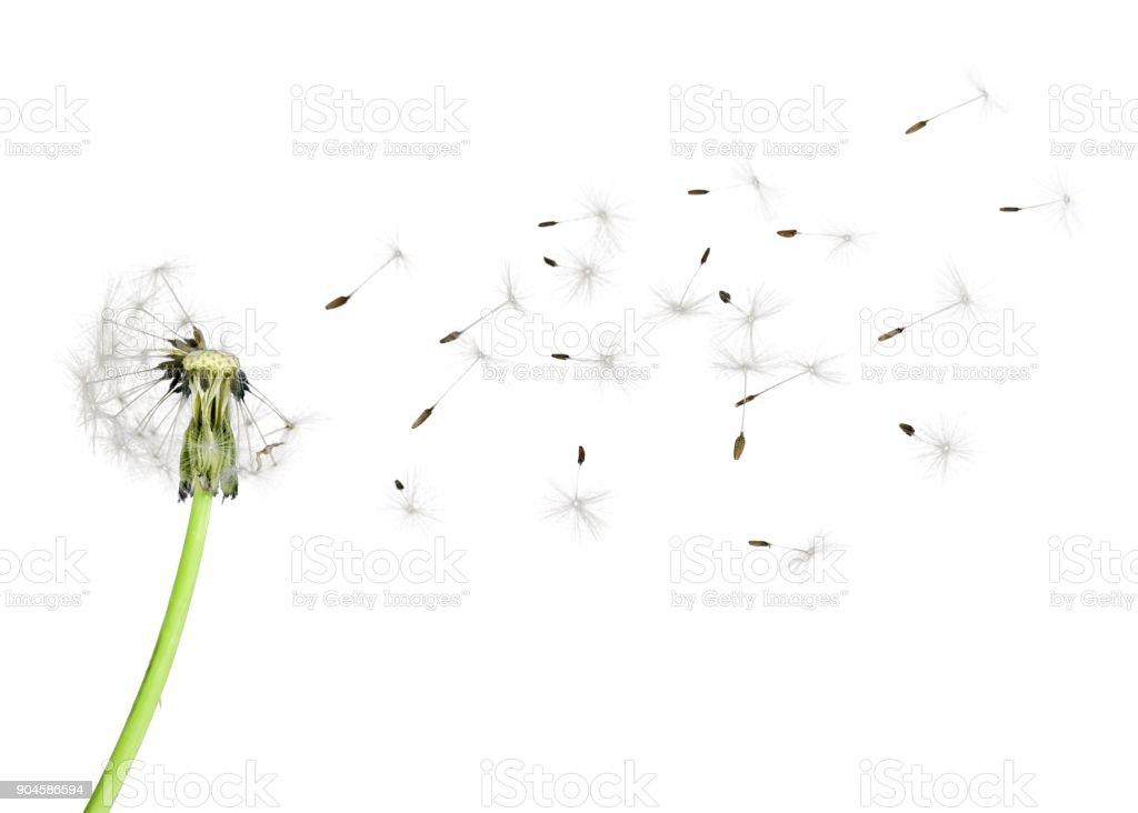 Fleur de pissenlit.   - Photo