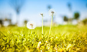 Dandelion on in sunny day