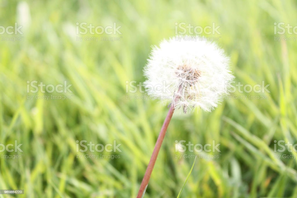 Dandelion - Royalty-free Backgrounds Stock Photo