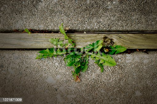 Cement patio with a dandelion plant growing through the cracks