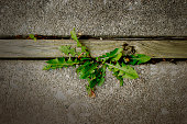 istock Dandelion Plant Growing Between the Cracks of a Cement Patio Slab 1221871309