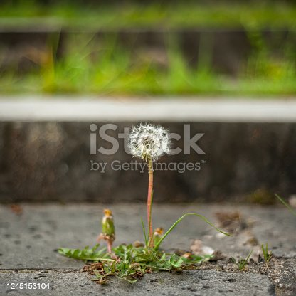 Dandelion plant in bloom breaking through the sidewalk. Will to live and strength of mind concept. Force of nature. Copy space