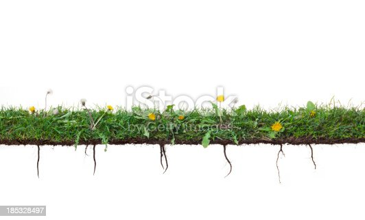 Dandelion plants with taproots on green grass isolated on a white background. Check out my