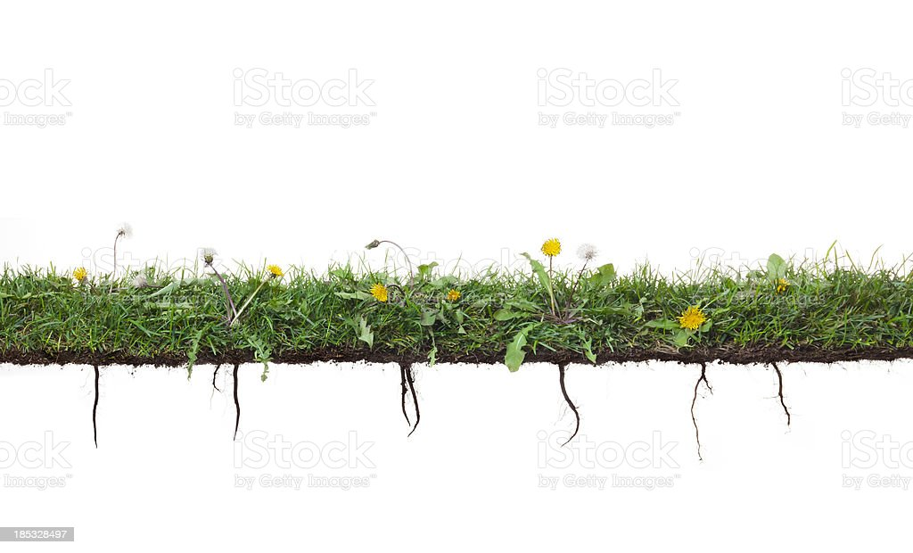Dandelion plants growing in grass with roots stock photo