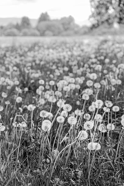 Pusteblume Field – Foto