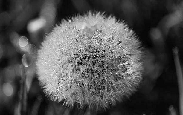 Pusteblume – Foto