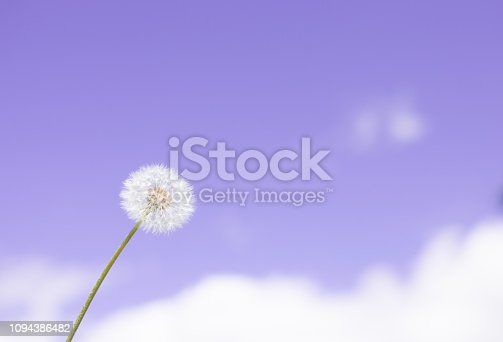 Dandelion puffball in the blue sky background