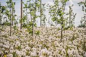 dandelion puffs in orchard