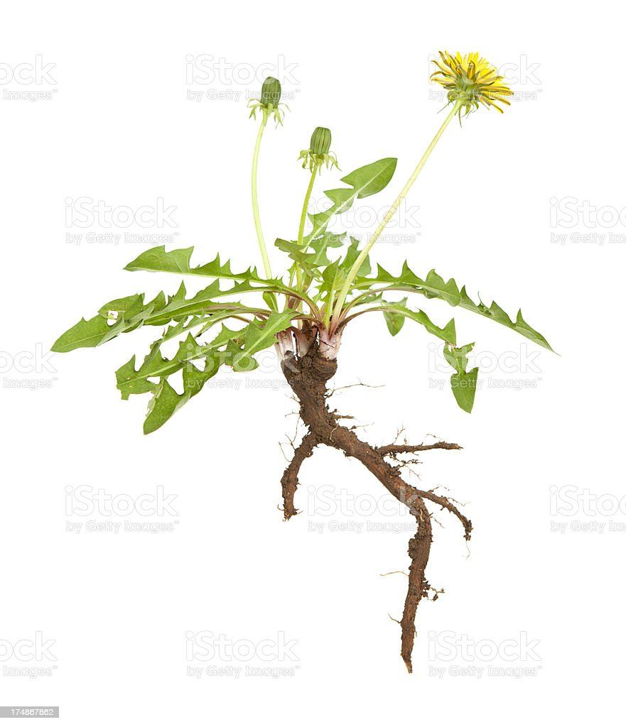 Dandelion Root stock photo