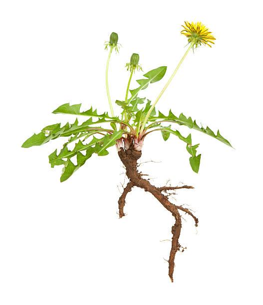 Dandelion Root stock photo