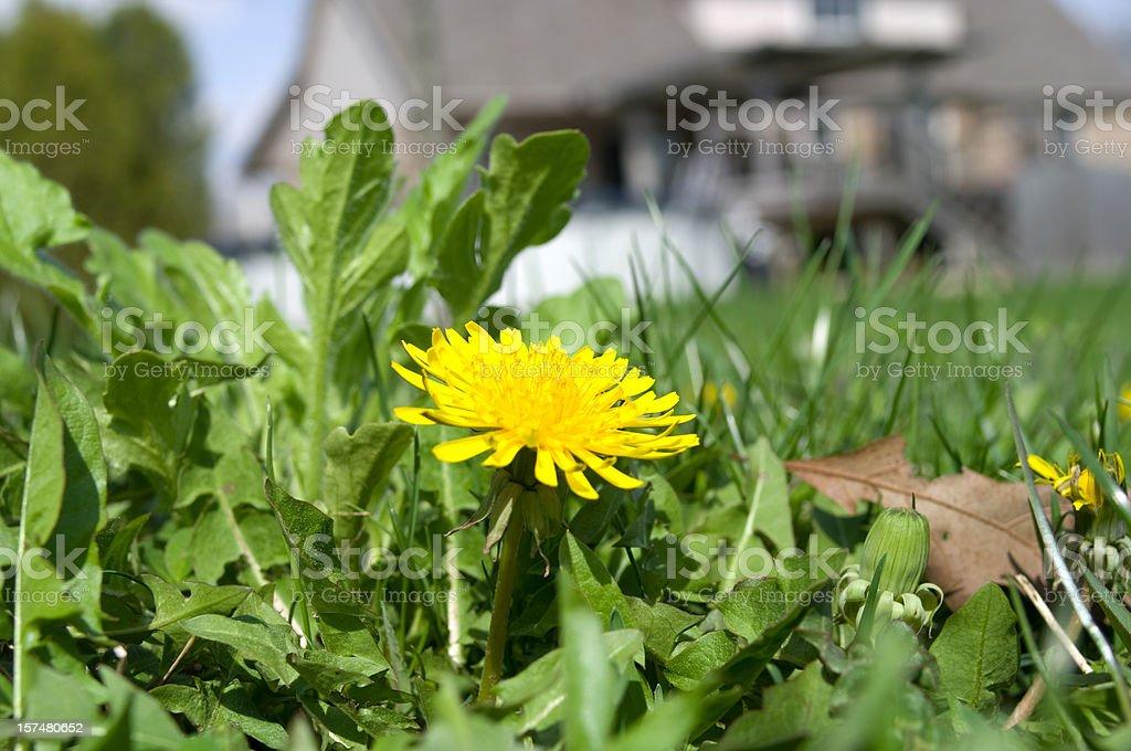 Dandelion Season royalty-free stock photo