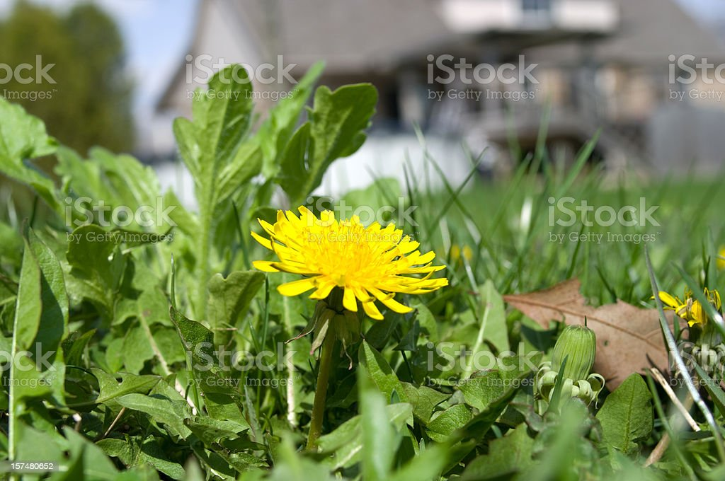 Dandelion Season stock photo