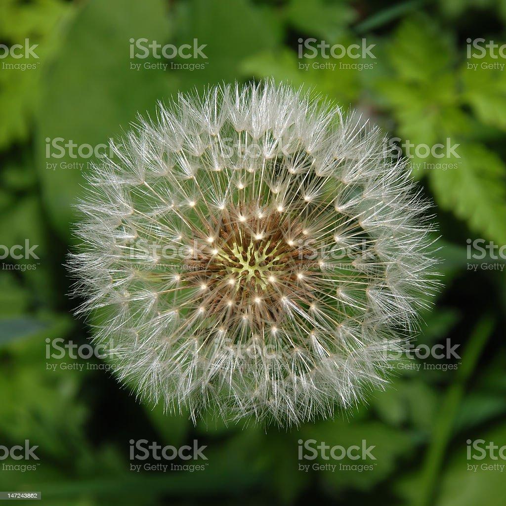 Dandelion Seed Ball stock photo