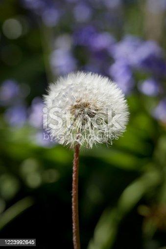 Dandelion seed head in spring, England, United Kingdom