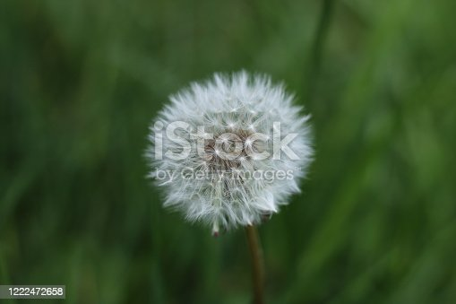 A dandelion seed head white round and fluffy