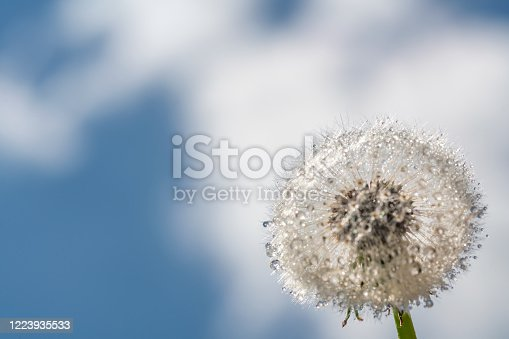 A full dandelion seed head against a blue sky with some condensation on the seed parachutes.
