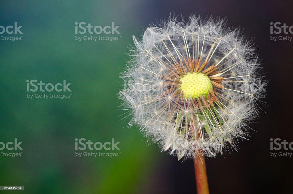 Dandelion Seed Head stock photo