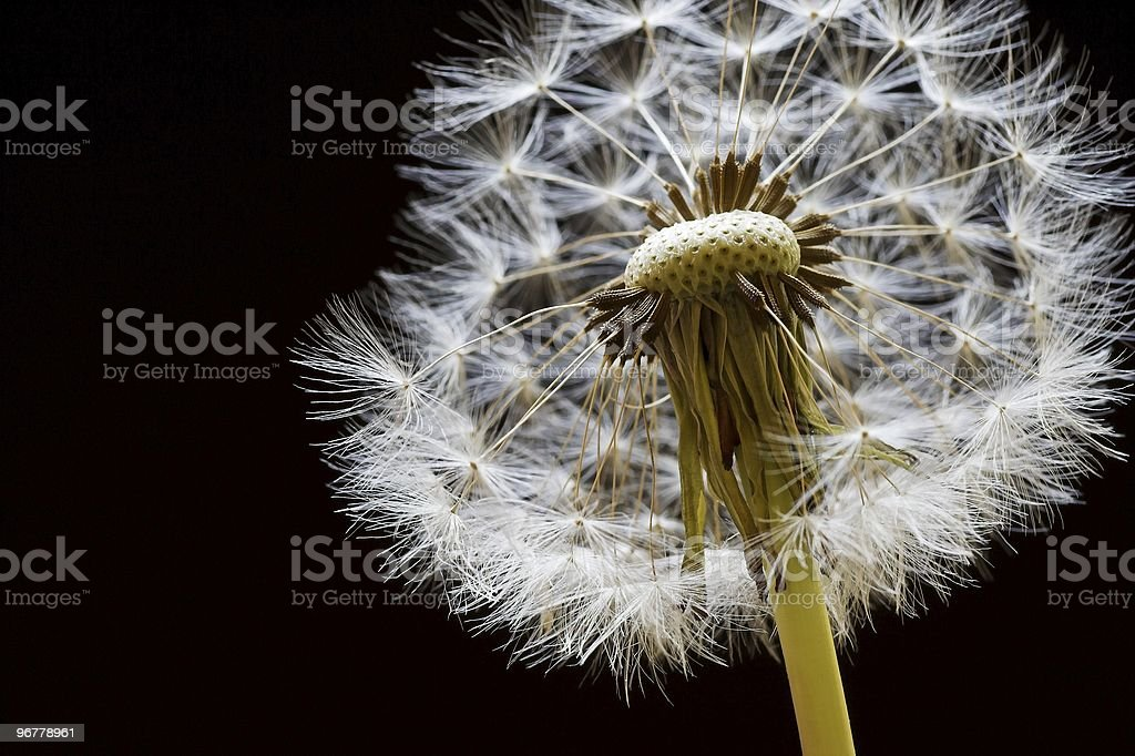 Dandelion Seed Head royalty-free stock photo
