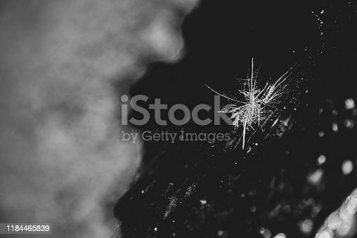 White Dandelion seed head stuck in the discarded residue of a corroded oil drum that is leaking onto a concrete surface.  Belfast, Northern Ireland.  Black and white.  Selective focus.