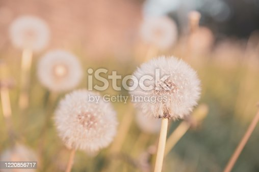 istock Dandelion seed heads in the evening sun 1220856717