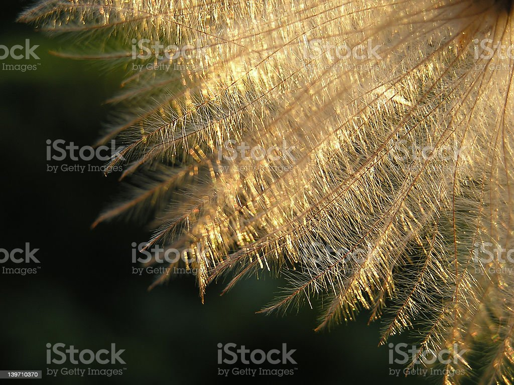 Dandelion seed in twilight royalty-free stock photo