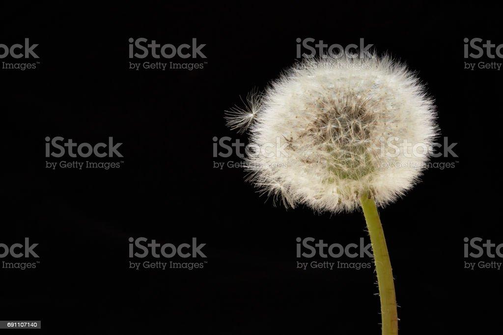 Dandelion seed on black background stock photo