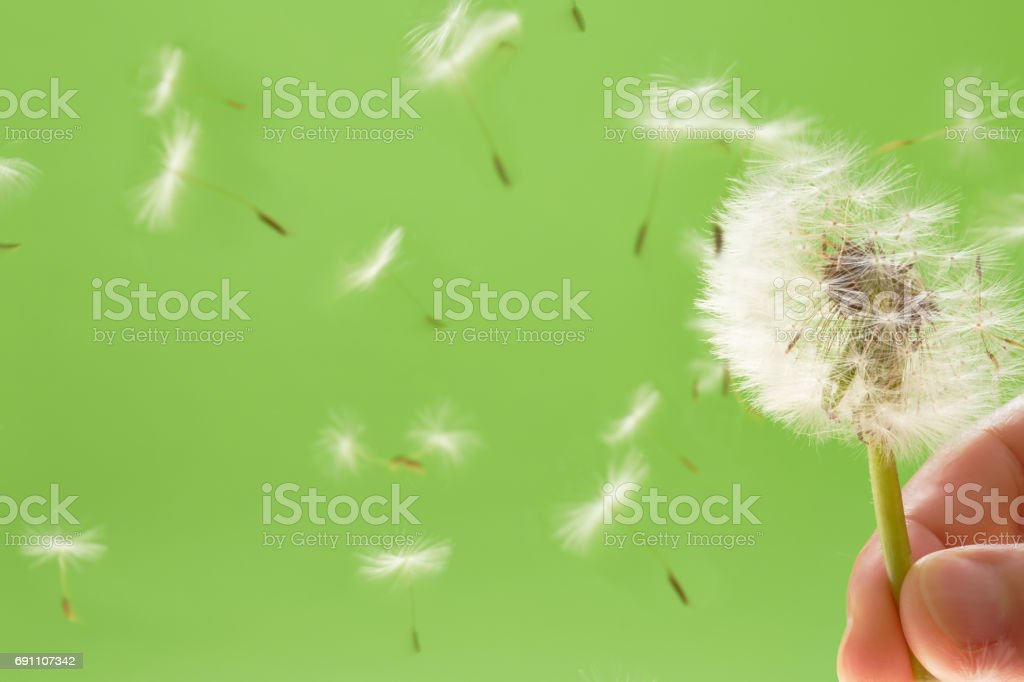 Dandelion seed on green background stock photo