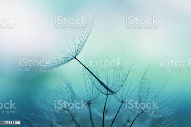 Dandelion seed picture id157681198?b=1&k=6&m=157681198&s=612x612&h=jcgtnia7zgu3oslzbliq6x0clep8s6 ms7fawghp w0=